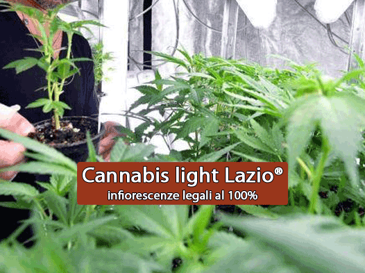 Cassazione: è lecito vendere e fumare la cannabis light